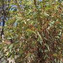 Image of <i>Eucalyptus dumosa</i> A. Cunn. ex Oxley
