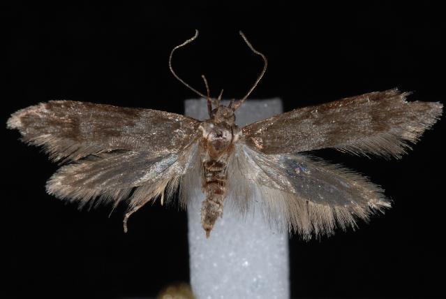 Image of <i>Asaphocrita aphidiella</i>