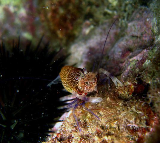 Image of golden-spotted shrimp