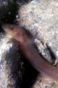 Image of Blunt-snouted Clingfish