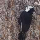 Image of White-headed Woodpecker