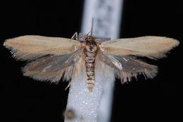 Image of <i>Holcocera immaculella</i>