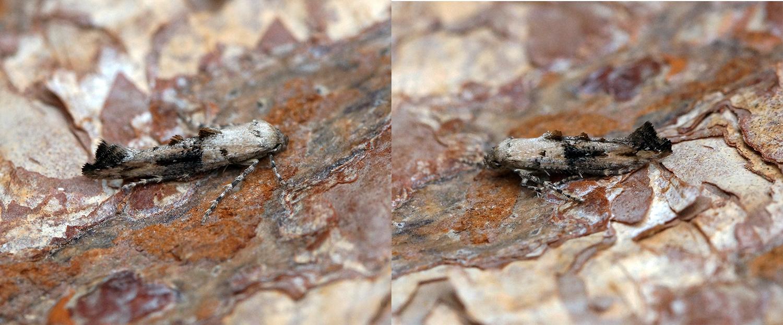 Image of <i>Epermenia chaerophyllella</i>