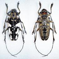 Image of <i>Pharsalia mortalis</i> (Thomson 1857)