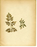 Image of <i>Selinum carvifolia</i> (L.) L.