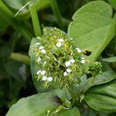 Image of <i>Aneilema umbrosum</i> (Vahl) Kunth