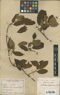Image of woodvine