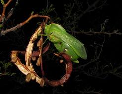 Image of bladder grasshoppers