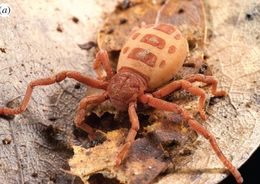 Image of hooded tick-spiders