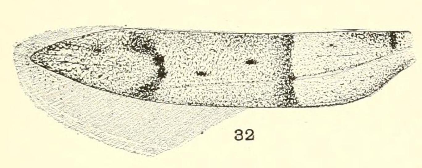 Image of Hypatopa