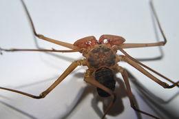 Image of Paraphrynus