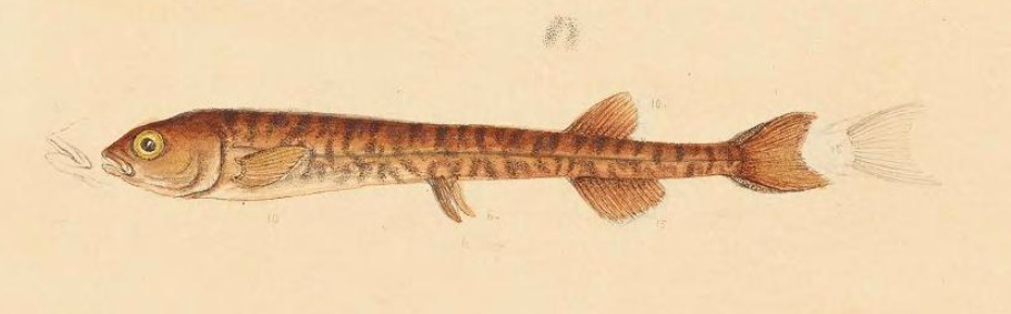 Image of Common Galaxias