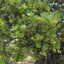 Image of <i>Arctostaphylos insularis</i> Greene & Parry