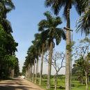 Image of Puerto Rico royal palm