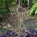 Image of <i>Rosenbergiodendron formosum</i> (Jacq.) Fagerl.