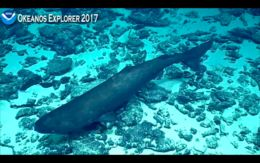 Image of sleeper sharks