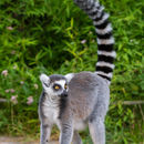 Image of Ring-tailed Lemur