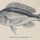 Image of Mylochromis