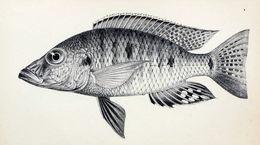 Image of <i>Stigmatochromis woodi</i> (Regan 1922)