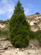 Image of arar tree