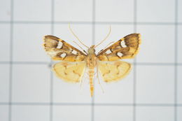 Image of Cotachena