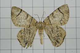 Image of <i>Terpna iterans</i> Prout 1926