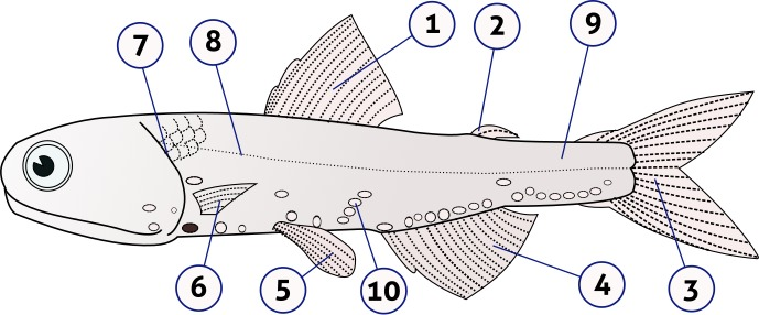Image of Hector's lanternfish