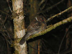 Image of Mountain Owlet-Nightjar