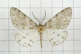 Image of <i>Arichanna picaria</i> Wileman 1910