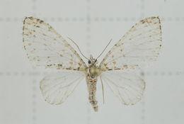 Image of Trichopterigia