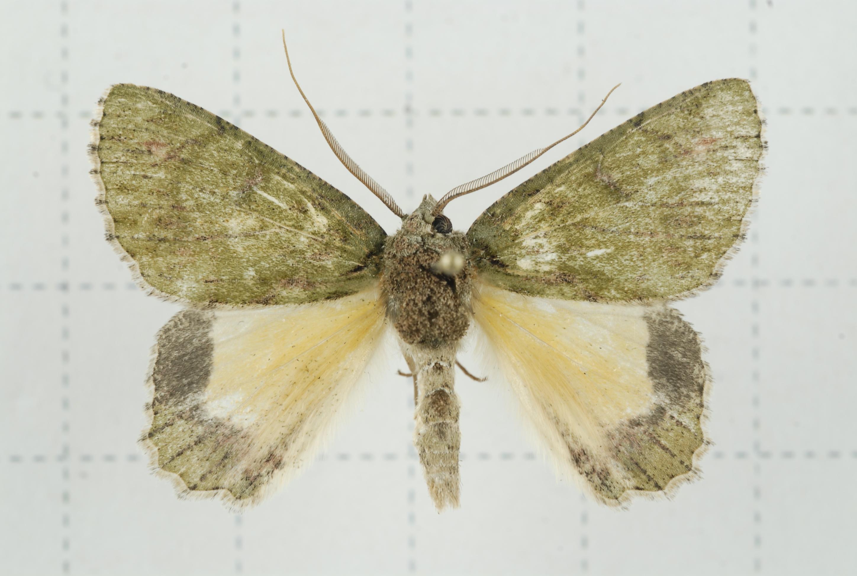 Image of <i>Dindica polyphaenaria</i> Guenée 1857
