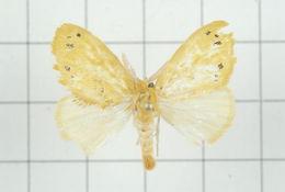 Image of <i>Euproctis croceola</i> Strand 1918