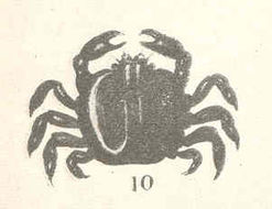 Image of pea crabs