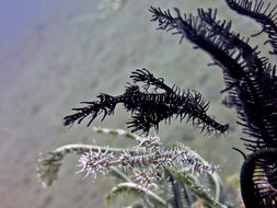 Image of green ghost pipefish