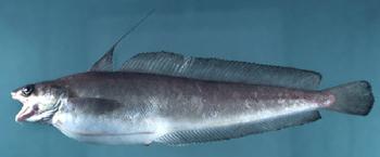 Image of Red hake