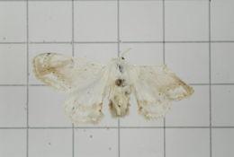 Image of Ernolatia Walker 1862