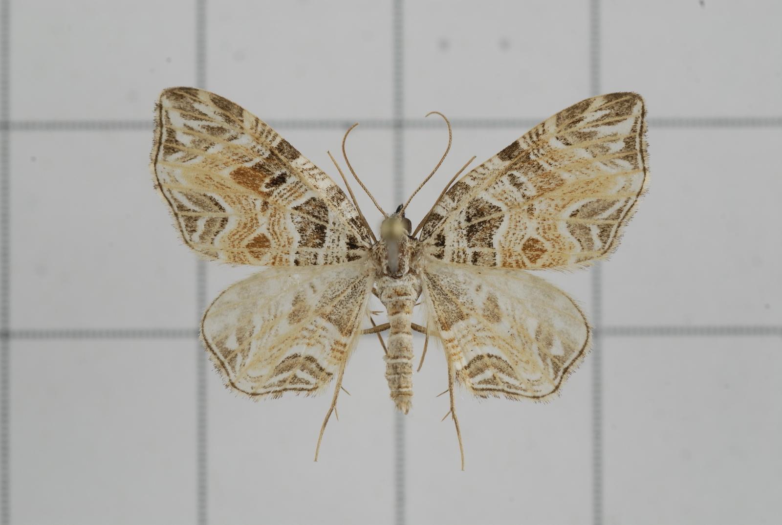 Image of <i>Lobogonodes taiwana</i> Wileman & South 1917