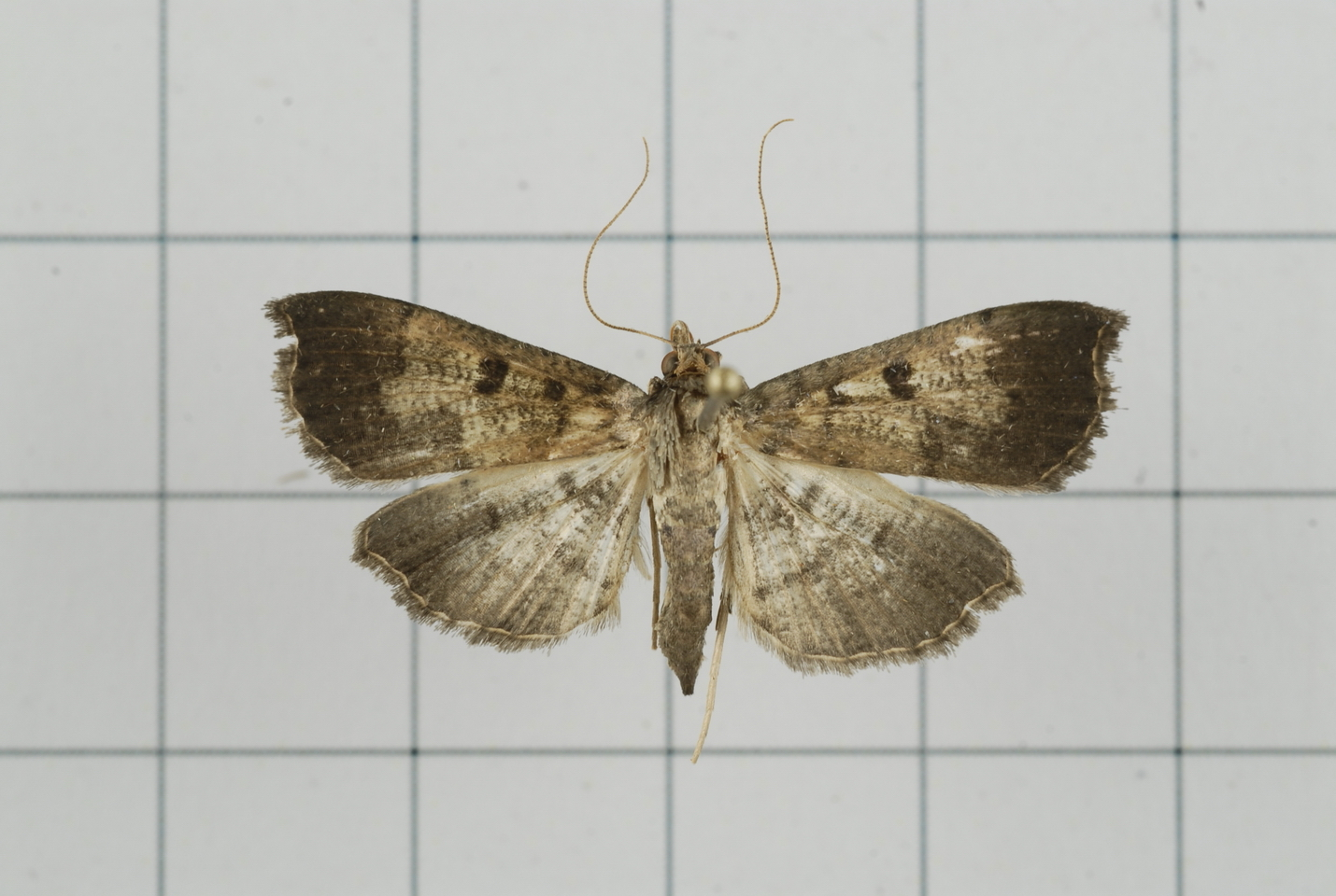 Image of <i>Ceratarcha umbrosa</i> Swinhoe 1894