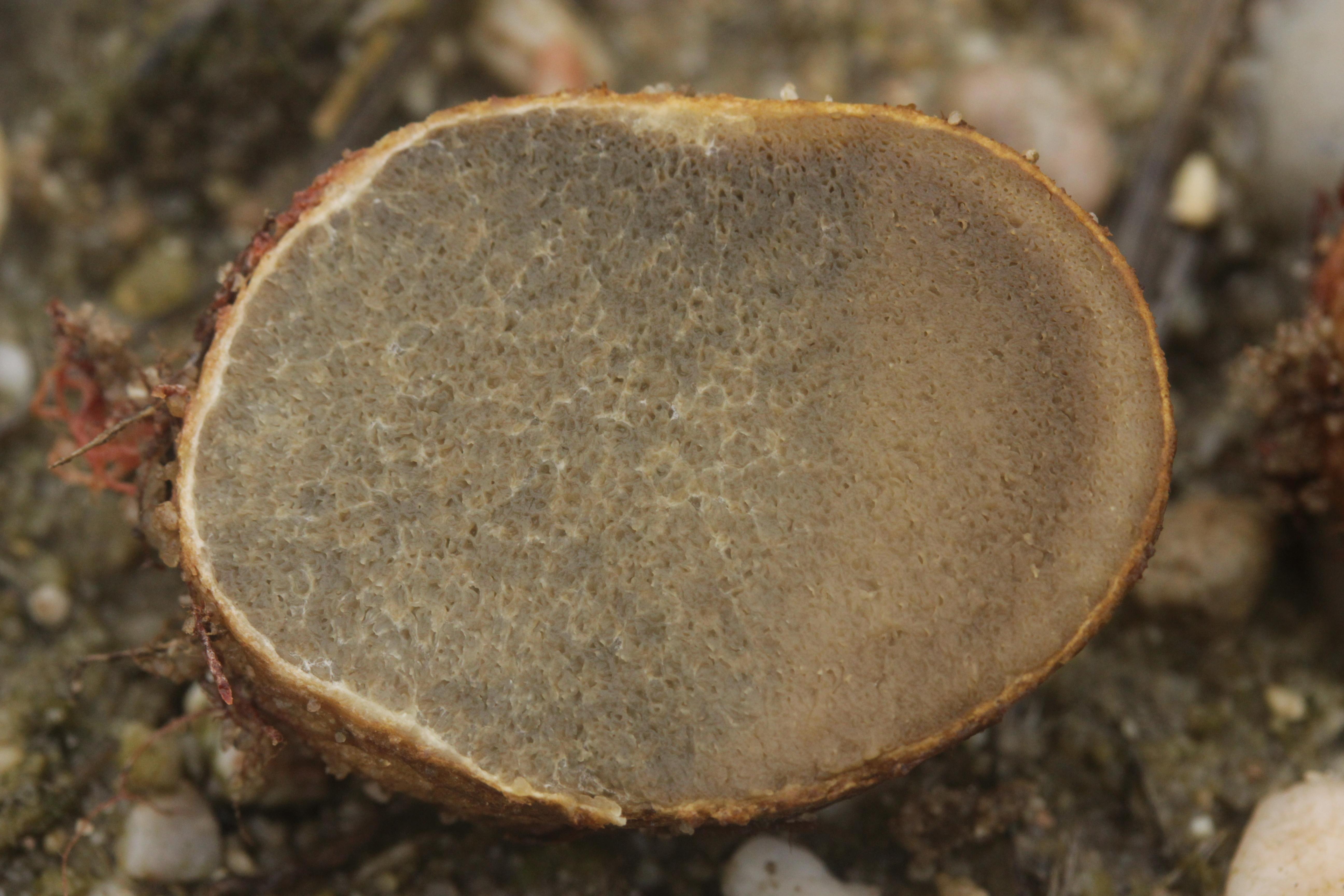 Image of <i>Rhizopogon luteolus</i> Fr. 1817