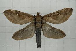 Image of Endoclita