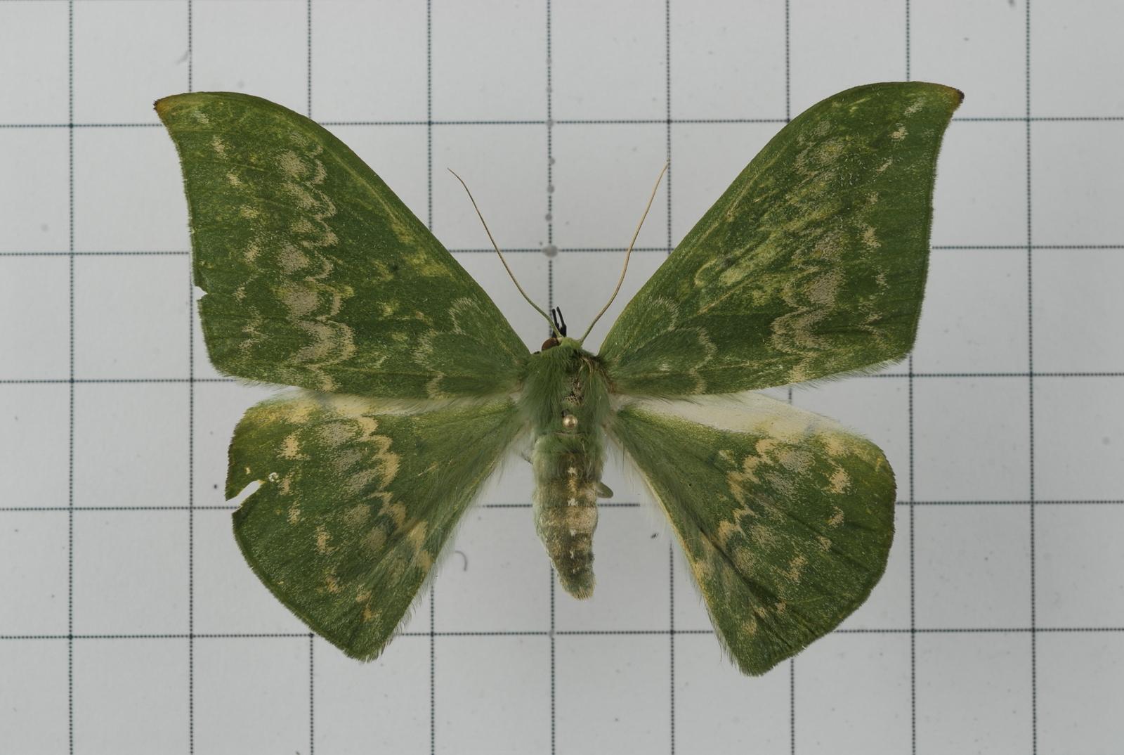 Image of <i>Tanaorhinus formosana</i> Okano 1959