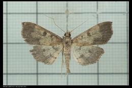Image of <i>Ceratarcha umbrosa</i> Swinhoe 1894