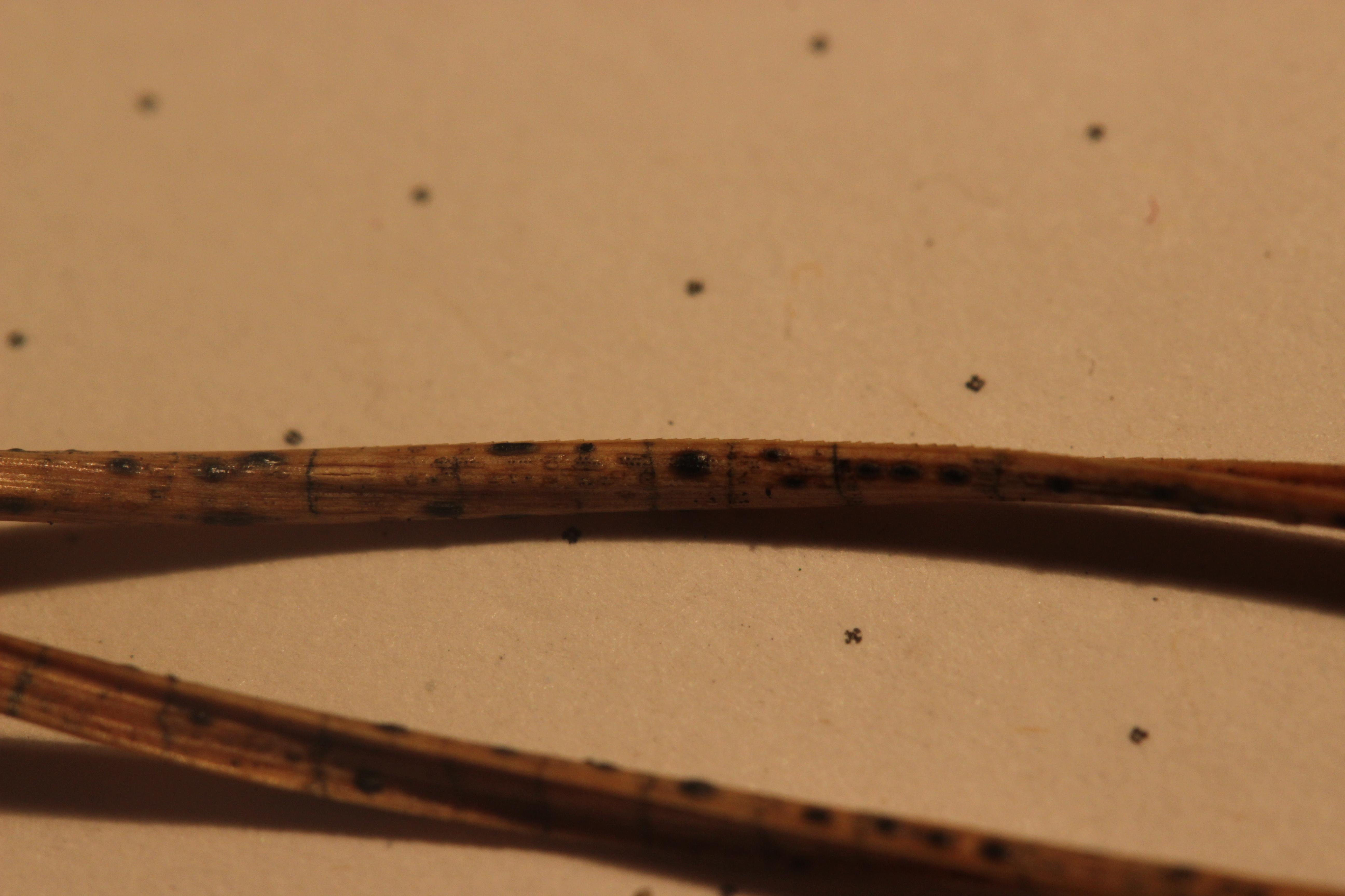 Image of Lophodermium
