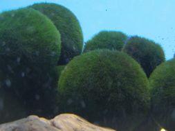Image of Cladophora Ball