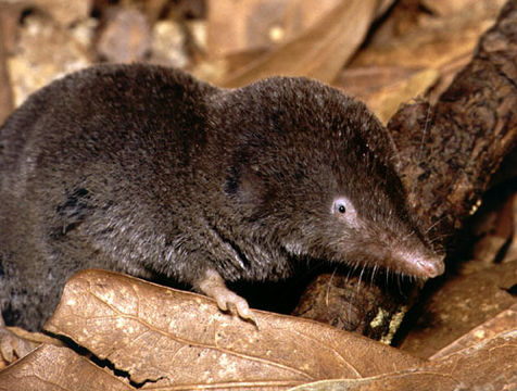 Image of Southern Short-tailed Shrew