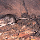 Image of Bailey's pocket mouse
