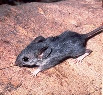 Image of Cactus mouse