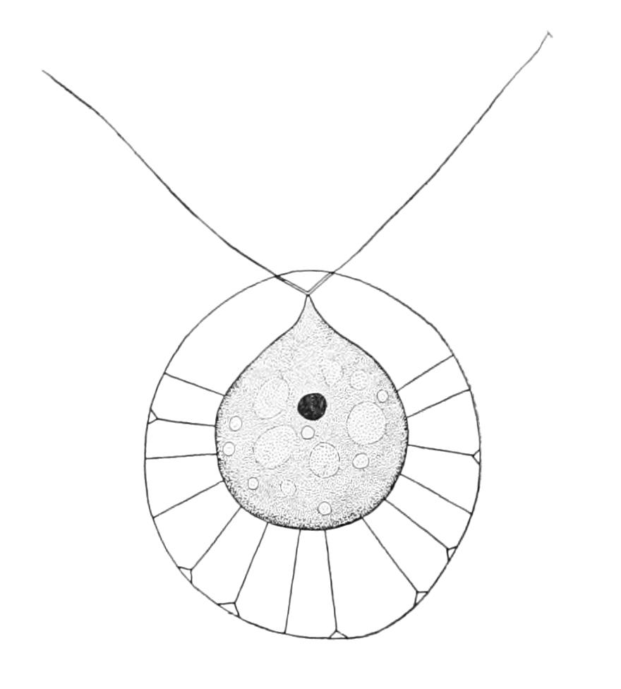 Image of <i>Haematococcus pluvialis</i> Flotow 1844