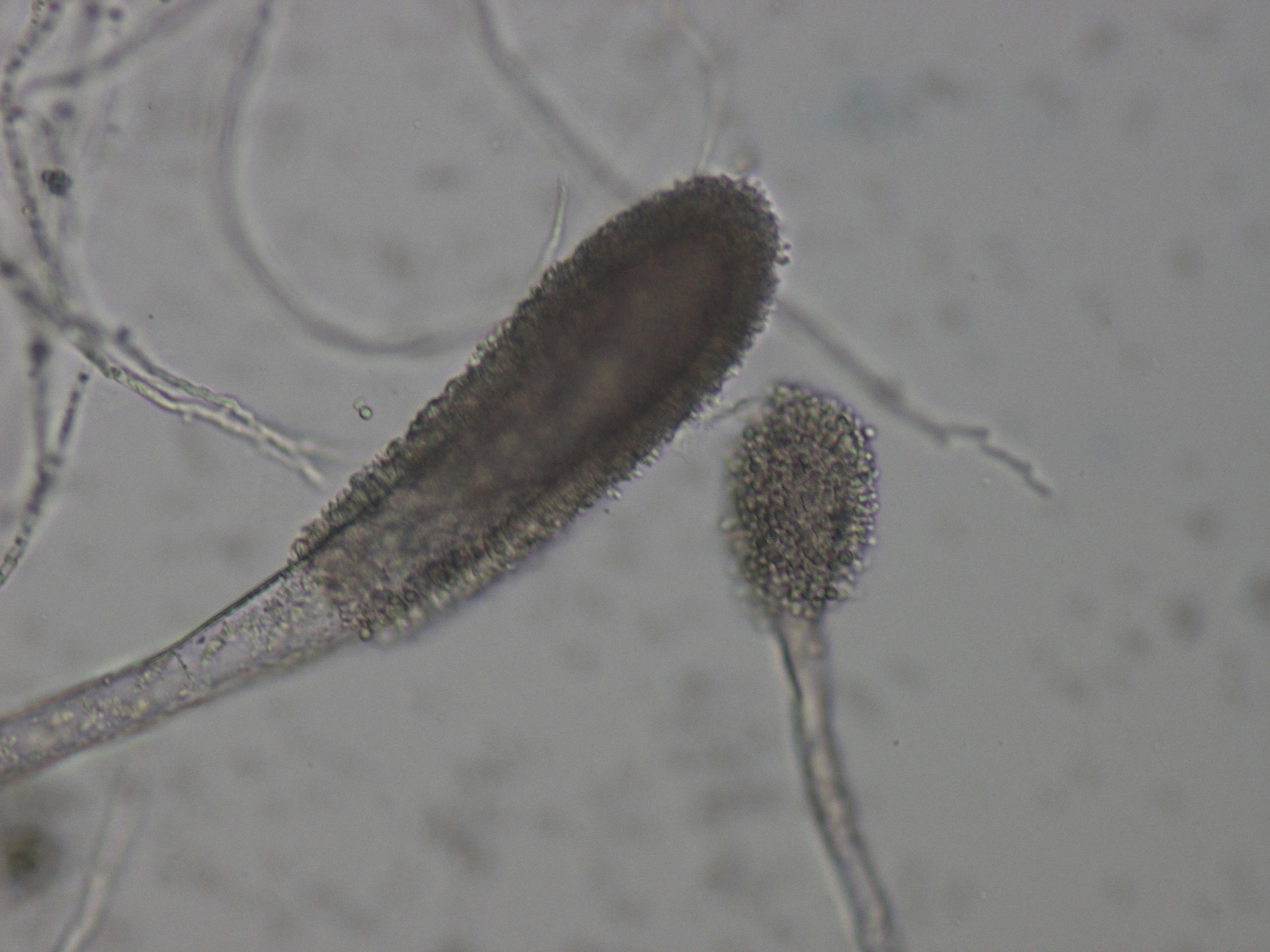 Image of <i>Aspergillus clavatus</i> Desm. 1834