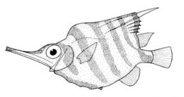 Image of Banded bellows fish